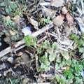 オオイヌノフグリ咲きました