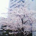 新潟市の桜は満開です