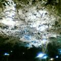 夜桜満開 その1
