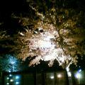 夜桜満開 その3