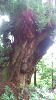 杉の原生林