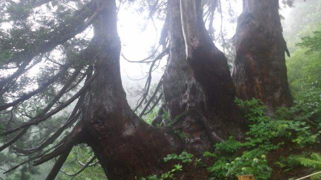 石名天然杉